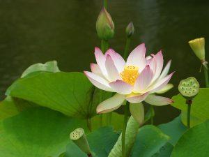 lotus-flower-2